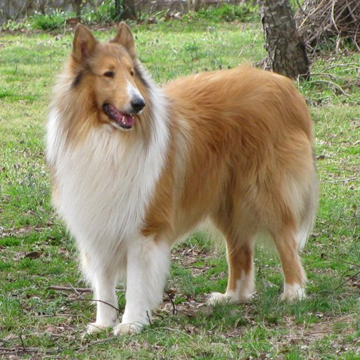 ColleyCollies.com